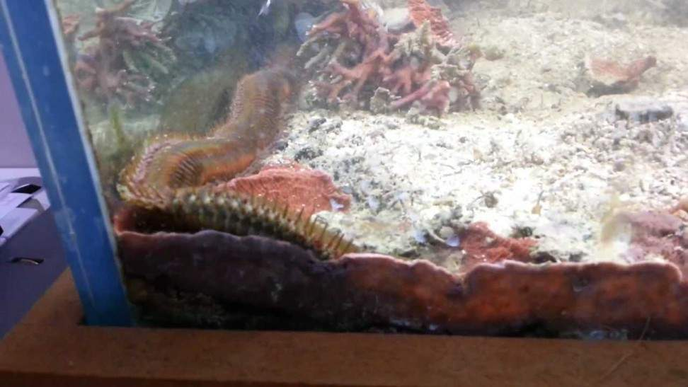 Gigantischer Wurm im Aquarium gefunden